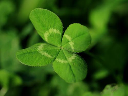 Четырехлистный клевер – талисман счастья и удачи