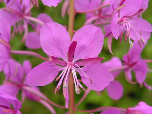 Иван-чай: полезные свойства, противопоказания и магия цветка