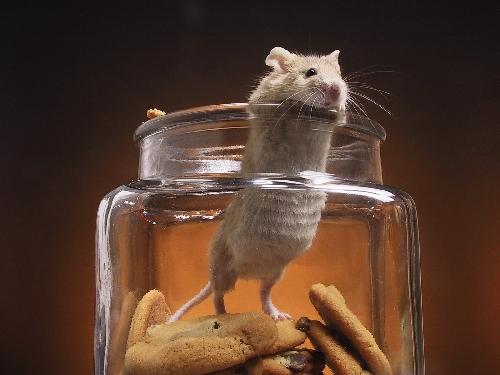 Мышь в доме: приметы