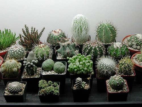 Энергетика домашних кактусов: что говорит фэн-шуй