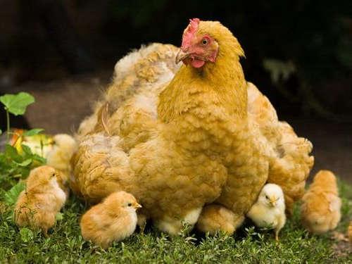 Гадание на любовь по куриным костям