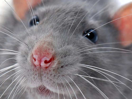 Сонник ручная крыса добрая