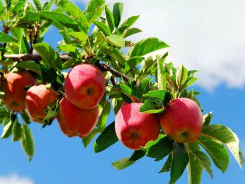 Можноли есть яблоки доЯблочного Спаса