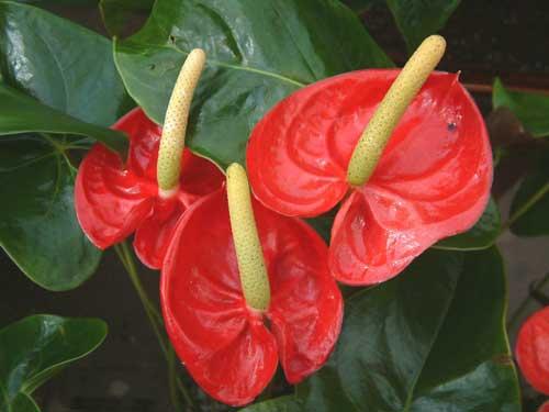 Цветок «Мужское счастье»: приметы исуеверия про антуриум