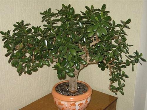Денежное дерево пофэн-шуй: как его посадить икуда поставить, чтобы привлечь богатство