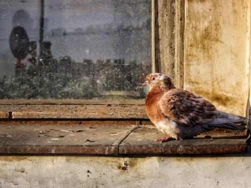 Кчему птица бьется вокно: приметы