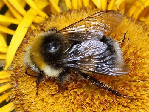 Шмель, пчела или оса залетели вдом: что сулят приметы