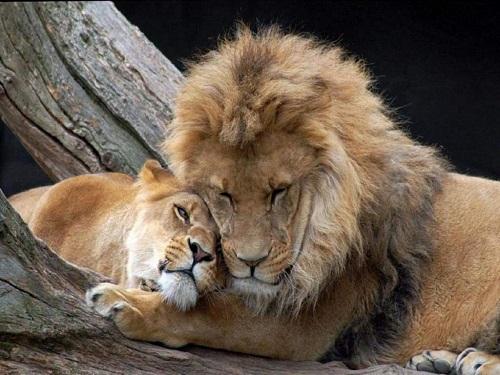 Лев иЛев: совместимость влюбовных отношениях