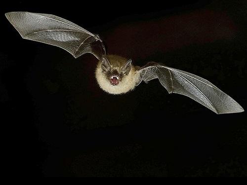 Летучая мышь залетела вквартиру: приметы