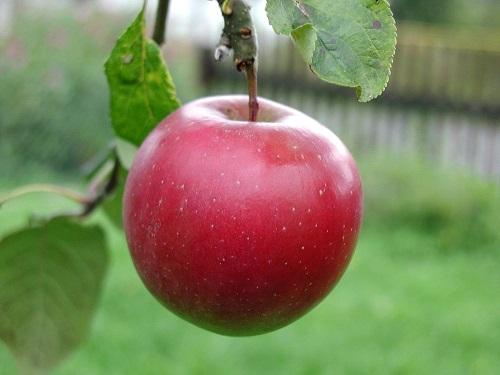 Обряд «Молодильное яблочко» для красоты, здоровья идолголетия