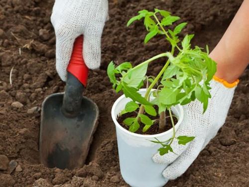 Шепотки для успешной высадки рассады весной
