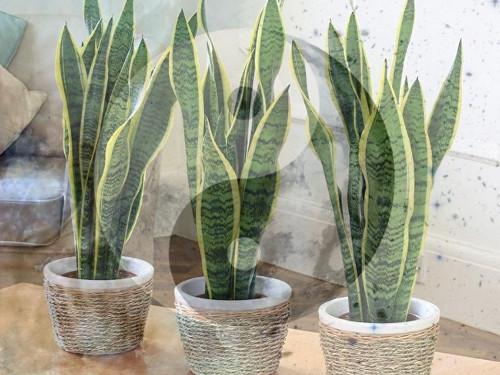 Какие домашние растения являются магнитами энергииЦи пофэн-шуй
