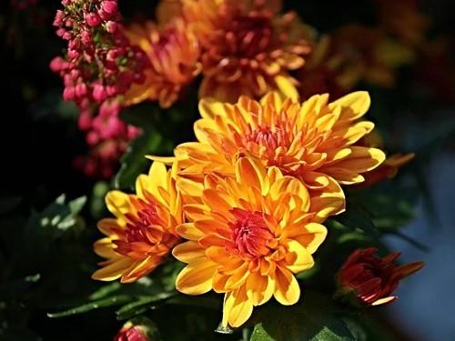 Полезные свойства хризантемы исферы еёприменения